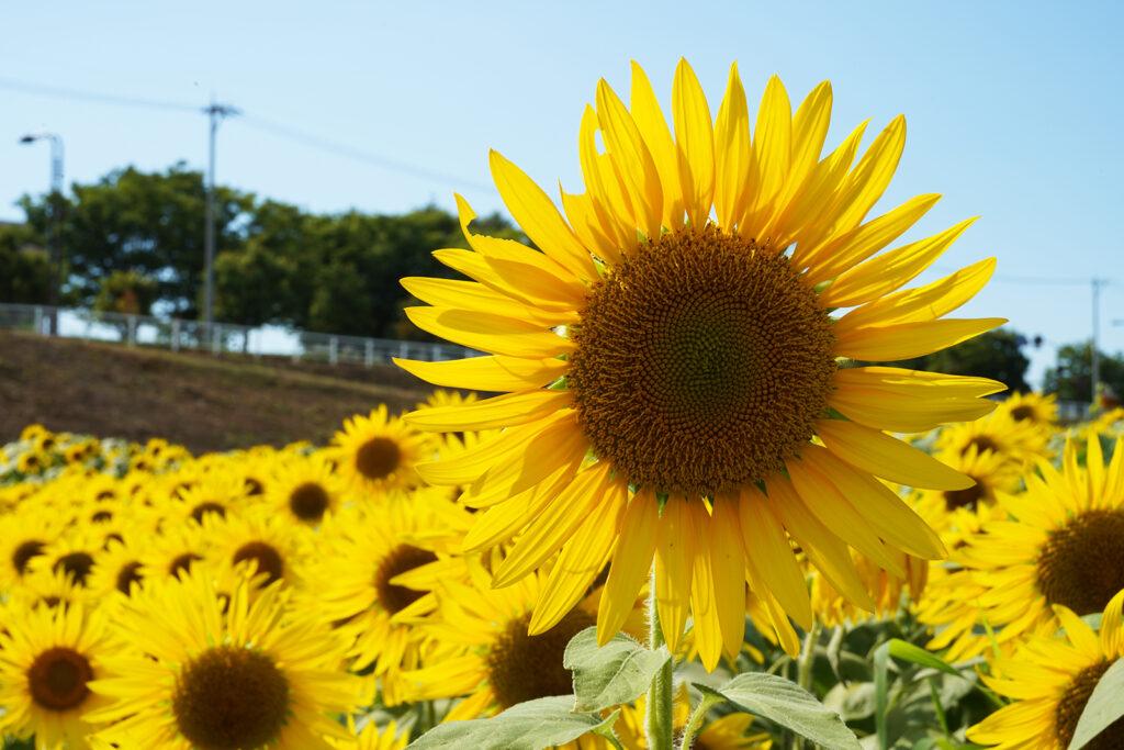 富山県立大学ひまわり大作戦2021